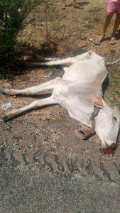 Animal causa acidente na PE-320 em Tabira - PE
