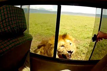 """Turista """"jumento"""" decide acariciar leão durante passeio na África"""