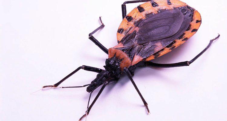 Após novos casos da doença de Chagas, veja os riscos e formas de prevenção