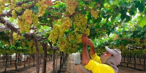 Detentos trabalham na produção de uvas e vinhos em Petrolina