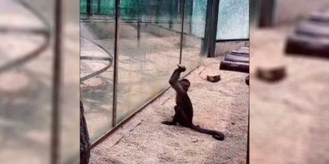 Macaco afia pedra para quebrar vidro e fugir de zoológico