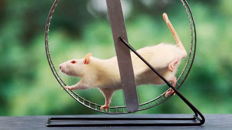 Sedentarismo pode ter a ver com um gene 'preguiçoso' do rato