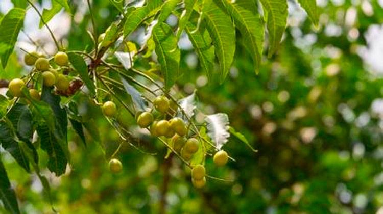 Sementes da árvore nim são eficazes inseticidas contra as larvas do mosquito da dengue. Foto: 123RF