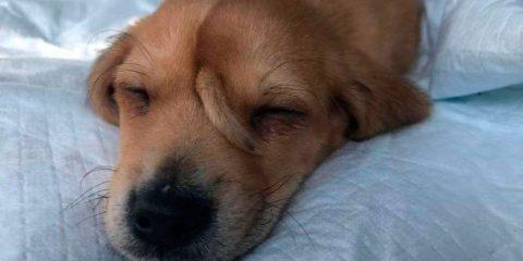 Filhote de cão com rabo 'extra' na testa é resgatado nos EUA