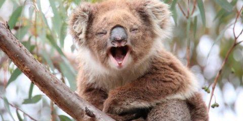 Coala é declarado funcionalmente extinto