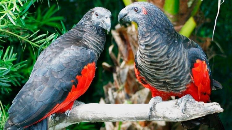 Conheça o papagaio-drácula espécie que se destaca por onde passa