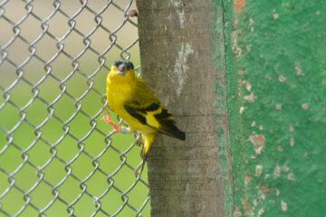 Pássaro nativo do Nordeste corre risco de extinção