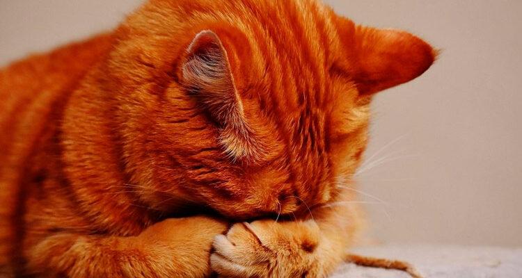Brasil confirma primeiro caso de gato infectado pelo coronavírus