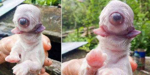 Cachorro morre após nascer com um olho, duas línguas e sem nariz; entenda a ciclopia