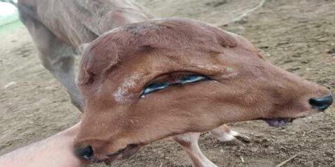 Bezerro nasce com duplicação craniofacial em Surubim