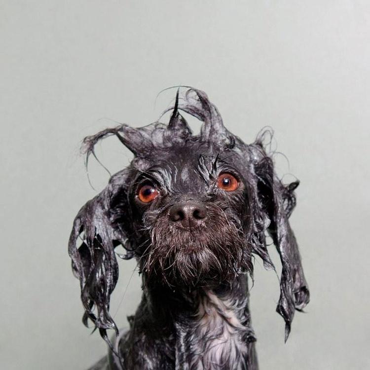 Por que os cachorros ficam malucos depois de tomar banho?