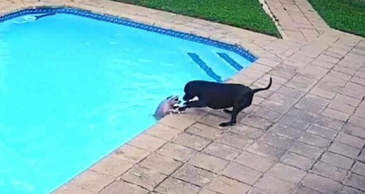 Vídeo emocionante mostra cadela salvando 'amigo' de se afogar na piscina; assista