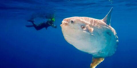 Raro, maior peixe ósseo do mundo é achado em praia do Piauí
